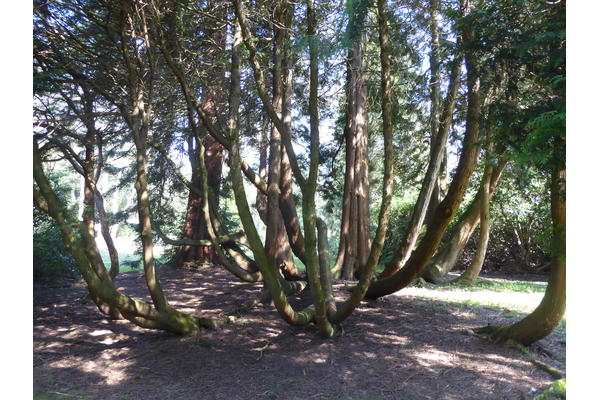 This is a group of Thuja plicata or Western Red Cedar.