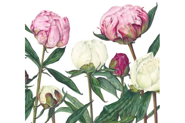 Botanical drawing in coloured pencil – flowering shrubs and bulbs with Susan Christopher-Coulson, 17 to 20 March 2022