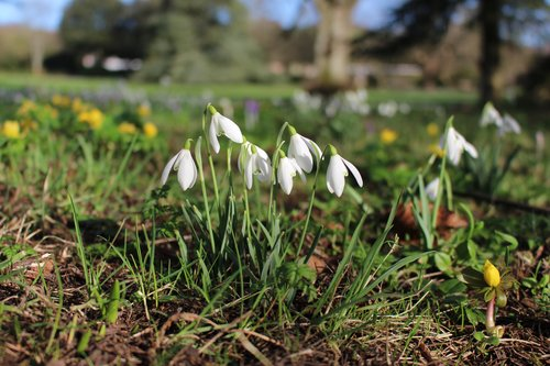 Snowdrops in February in West Dean Gardens
