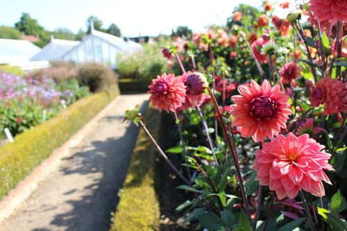 Dahlias In The Cutting Garden At West Dean Gardens