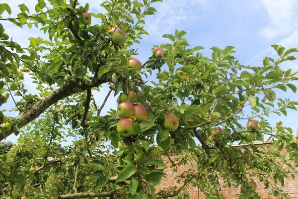 Apple Orchard at West Dean Gardens West Sussex