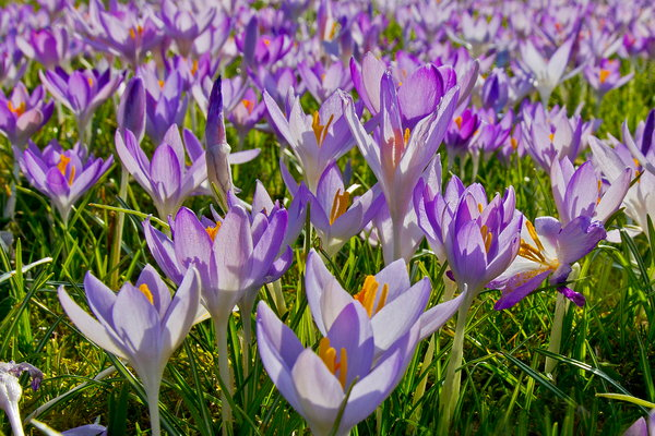 Crocuses at West Dean Gardens.  Image Credit Steve Tattersall